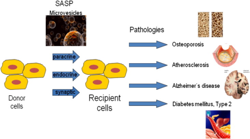 Extracellular vesicle trafficking in aging
